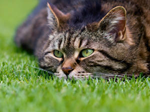 Обои Кошки Трава Взгляд Животные фото