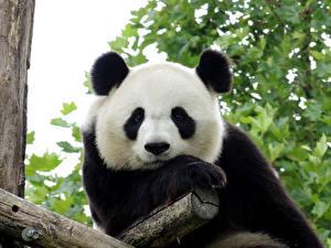 Обои Панды Медведи Взгляд Животные фото