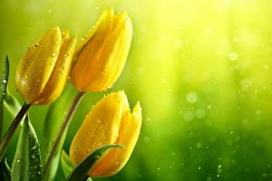 Картинка Тюльпаны Вблизи Желтая Трое 3 Капельки Цветы