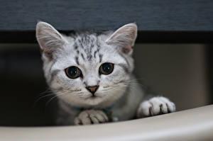 Обои Кошки Взгляд Лапы Животные фото