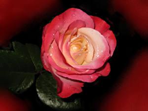 Фото Розы Вблизи Розовые Капли цветок