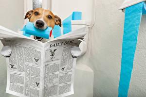 Фото Собаки Джек-рассел-терьер Газета Туалет Животные Юмор