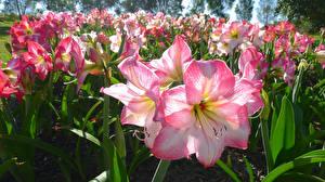 Картинки Амариллис Вблизи Розовая цветок