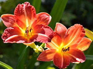 Обои Лилии Вблизи 2 Цветы