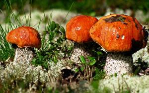 Фото Вблизи Грибы природа Leccinum aurantiacum