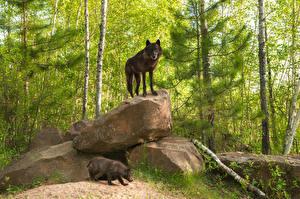 Фотография Лес Камни Волки Две Животные