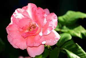 Обои Розы Вблизи На черном фоне Розовая Капли цветок