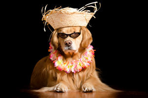 Картинки Собаки Черный фон Ретривер Шляпа Очки Животные Юмор