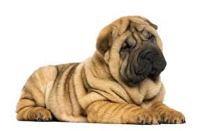 Картинка Собаки Шарпей Белый фон Животные