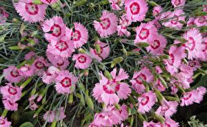 Обои Гвоздика Крупным планом Розовый Цветы