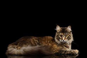 Обои Кошки Черный фон Взгляд Животные фото