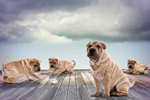 Фото Собаки Шарпей