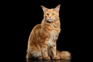 Фотографии Кошки Мейн-кун Рыжий Черный фон
