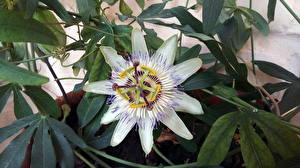 Обои Крупным планом Листва Капель Белая Passiflora caerulea Цветы