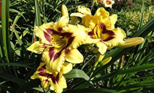 Фото Лилия Желтая Бутон цветок