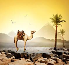 Фото Египет Пустыни Верблюды Камень Пальмы Cairo Природа Животные