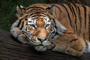 Обои Тигры Взгляд Животные фото