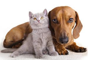 Картинки Кошки Собаки Котята Такса 2 Белый фон Животные