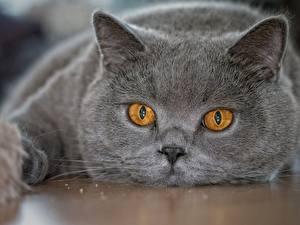Обои Кошки Взгляд Морда Серый Животные фото