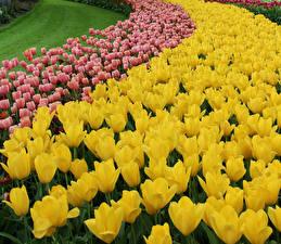 Обои Тюльпаны Много Крупным планом Цветы фото