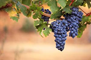 Обои Фрукты Виноград Листья Продукты питания