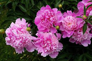 Фотография Пионы Вблизи Розовых Бутон Цветы