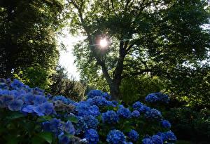 Обои Германия Сады Гортензия Деревья Grugapark Essen Природа фото