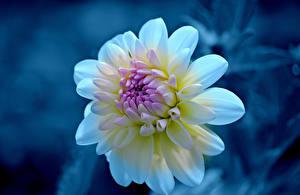 Обои Георгины Крупным планом Цветы фото