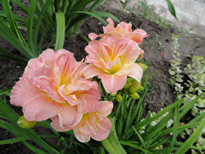 Фотографии Лилии Крупным планом Розовый Цветы