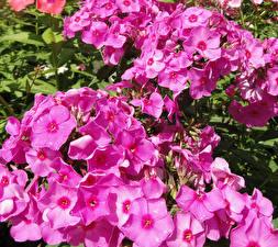 Обои Флоксы Крупным планом Розовый Цветы фото