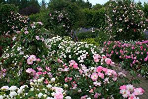 Картинка Англия Сады Роза Много Кусты Hever Castle Gardens цветок