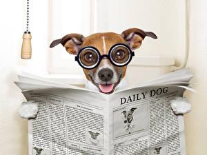 Обои Собаки Джек-рассел-терьер Очки Газета Туалет Забавные Животные Юмор