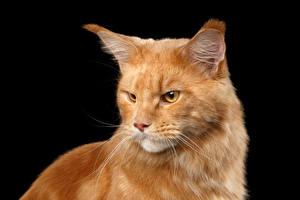 Картинка Кошки Мейн-кун Рыжий Черный фон