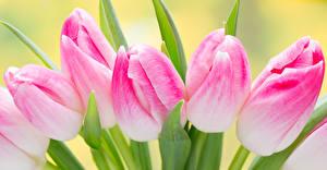 Обои Тюльпаны Крупным планом Розовый Цветы фото