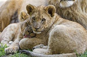 Обои Детеныши Львы Взгляд ©Tambako The Jaguar ©Tambako The Jaguar Животные фото