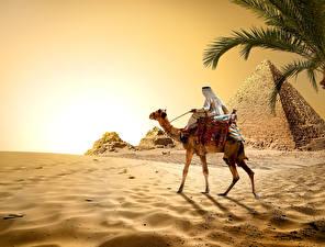 Фотографии Египет Пустыни Верблюды Пирамида Песок Cairo Природа