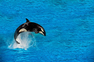 Картинки Море Брызги Orcas животное