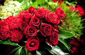 Обои Розы Гвоздики Крупным планом Красный цветок