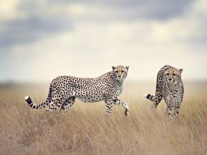 Картинка Большие кошки Гепарды Вдвоем