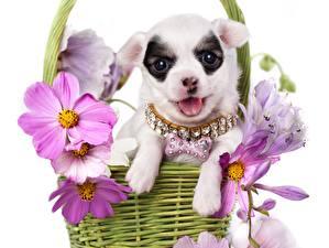 Картинки Космея Собаки Чихуахуа Корзина Животные Цветы