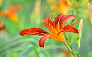 Обои Лилии Вблизи Оранжевый Цветы