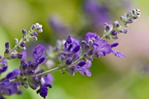 Обои Лаванда Крупным планом Фиолетовый Цветы фото