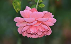 Обои Розы Крупным планом Розовый Цветы фото