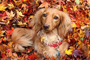 Обои Собаки Осень Такса Листья Животные