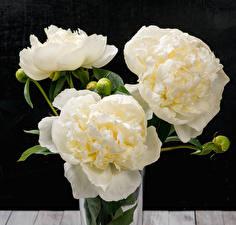 Обои Пионы Белый Черный фон Бутон Цветы