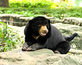 Обои Медведи Взгляд Malayan sun bears Животные фото