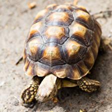 Обои Черепахи Крупным планом Животные фото