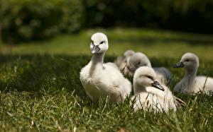 Картинка Лебеди Птицы Трава Животные