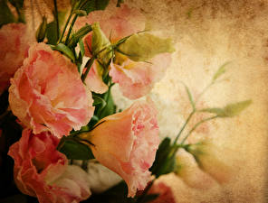 Фотографии Эустома Крупным планом Розовый Бутон Цветы