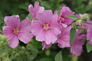 Обои Мальва Крупным планом Розовый Цветы фото